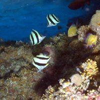 butterflyfish3